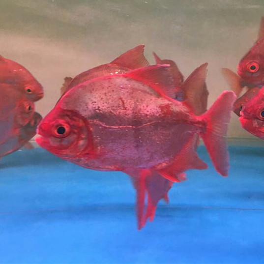 湛江玫瑰银版鱼